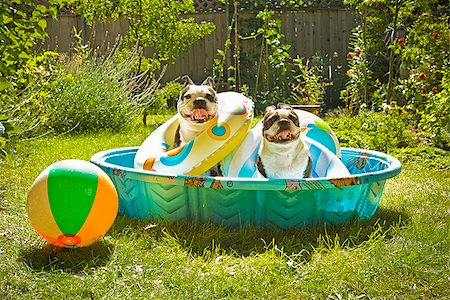 dog in heat - Two Boston Terriers with life rings sitting in a wading pool Stock Photo - Premium Royalty-Free, Code: 673-02386570