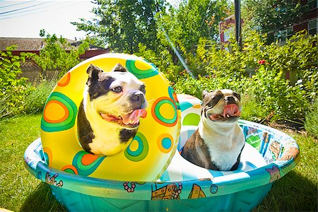 dog in heat - Two Boston Terriers with life rings sitting in a wading pool Stock Photo - Premium Royalty-Free, Code: 673-02386571
