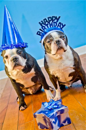 special event - dogs in birthday party hats Stock Photo - Premium Royalty-Free, Code: 673-03826590