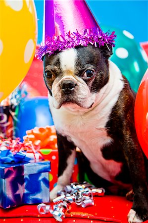 special event - dog in party hat with balloons Stock Photo - Premium Royalty-Free, Code: 673-03826618