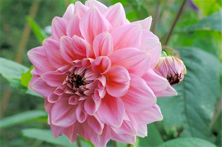 Blooming dahlia Stock Photo - Premium Royalty-Free, Code: 689-05610167