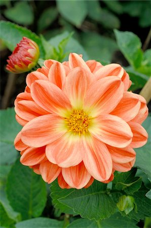 Blooming dahlia Stock Photo - Premium Royalty-Free, Code: 689-05610169