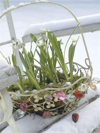 Snowdrops in a basket in snow Stock Photo - Premium Royalty-Free, Code: 689-05610449