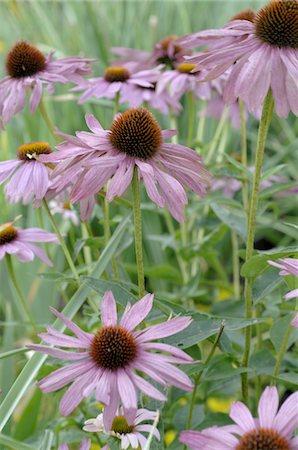 floral - Blooming purple cornflower Stock Photo - Premium Royalty-Free, Code: 689-05611569
