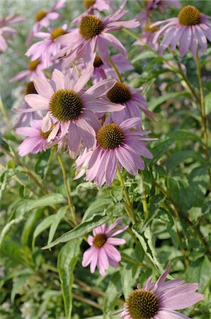 floral - Blooming purple cornflower Stock Photo - Premium Royalty-Free, Code: 689-05611575