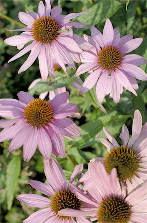 floral - Purple coneflowers Stock Photo - Premium Royalty-Free, Code: 689-05611613
