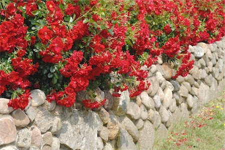 Blooming red flowers at stone wall Foto de stock - Sin royalties Premium, Código: 689-05611902
