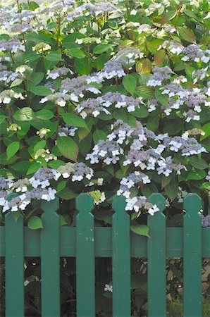 Blooming bush at garden fence Foto de stock - Sin royalties Premium, Código: 689-05611917