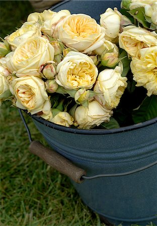 peony - yellow roses Stock Photo - Premium Royalty-Free, Code: 689-03130904