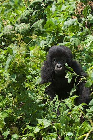 serengeti national park - Mountain Gorilla (Gorilla g. beringei), Parc National des Volcans (Volcanoes National Park), Rwanda Stock Photo - Premium Royalty-Free, Code: 682-05649962