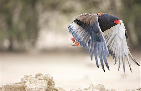 A Bateleur Eagle in flight, Kgalagadi Transfrontier Park, Northern Cape Province, South Africa Stock Photo - Premium Royalty-Free, Code: 682-05650208