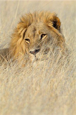 Lion (Panthera leo) in grass, Shumba Pan, Hwange National Park, Zimbabwe Stock Photo - Premium Royalty-Free, Code: 682-05650419