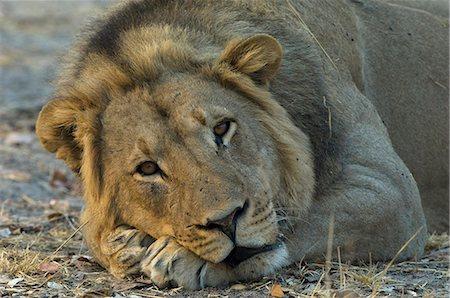 Lion (Panthera leo) resting, Shumba Pan, Hwange National Park, Zimbabwe Stock Photo - Premium Royalty-Free, Code: 682-05650420