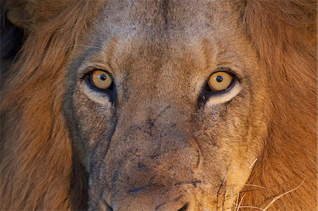 A close up of a Lions eyes looking directly at the camera, Kapama Private Game Reserve, Hoedspruit, Mpumalanga, South Africa Stock Photo - Premium Royalty-Free, Code: 682-05977071