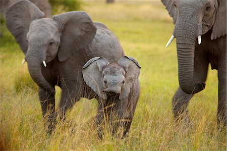 A young Elephant walking towards the camera, Okavango Delta, Botswana Stock Photo - Premium Royalty-Free, Code: 682-05977516