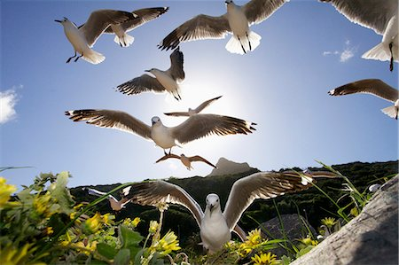 flying bird - Hartlaub's Gulls flying away, Hout Bay, Western Cape, South Africa Stock Photo - Premium Royalty-Free, Code: 682-05977718