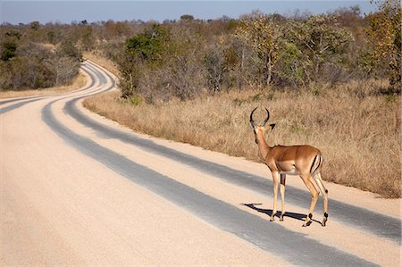 ram (animal) - An Impala Ram standing on a tar road. Stock Photo - Premium Royalty-Free, Code: 682-06374434