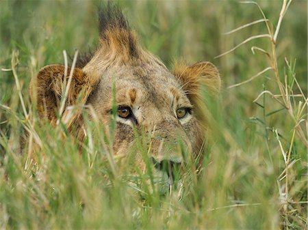 Lion - Panthera Leo, Young male lion on Timbavati river bank peeping through  long grass, Timbavati Nature Reserve, Mpumalanga, South Africa Stock Photo - Premium Royalty-Free, Code: 682-07734825