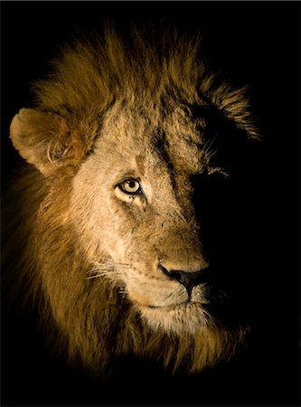 Lion (Panthera leo), Greater Kruger National Park, South Africa Stock Photo - Premium Royalty-Free, Code: 682-02895218