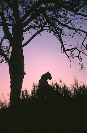 Silhouette of a Cheetah (Acinonyx jubatus) Against a Tree at Dusk Stock Photo - Premium Royalty-Free, Code: 682-02890239