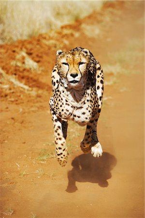 Front View of a Female Cheetah (Acinonyx jubatus) Running Stock Photo - Premium Royalty-Free, Code: 682-02890248