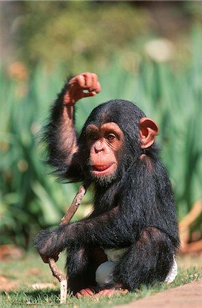 smiling chimpanzee - Portrait of a Baby Chimpanzee (Pan troglodytes) Playing with a Stick Stock Photo - Premium Royalty-Free, Code: 682-02890275