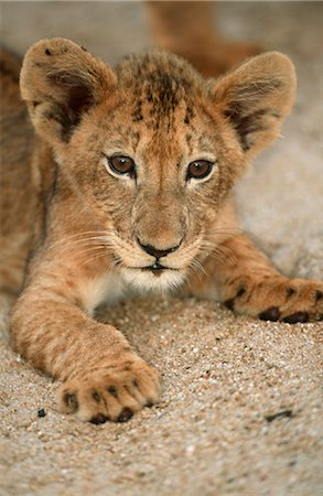 Close-up of a  Lion Cub (Panthera leo) Lying in the Sand Stock Photo - Premium Royalty-Free, Code: 682-02890483