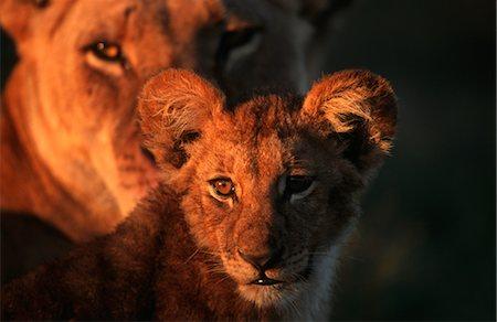 Close-up Portrait of a Lion Cub (Panthera leo) At Sunset Stock Photo - Premium Royalty-Free, Code: 682-02890502