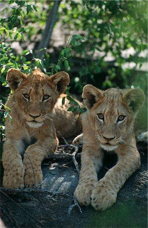 Lion (Panthera leo) Pair Lying in Tree Stock Photo - Premium Royalty-Free, Code: 682-02890526