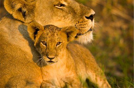 Close-up of Female Lion (Panthera leo) and Cub Stock Photo - Premium Royalty-Free, Code: 682-02890576