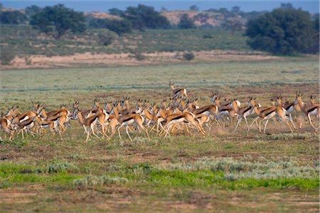 running away scared - Springbok (Antidorcas marsupialis) Herd Running Stock Photo - Premium Royalty-Free, Code: 682-02890672