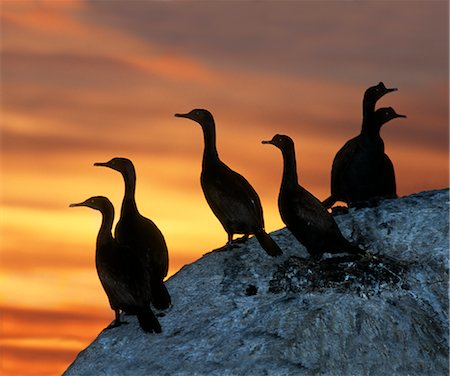 Silhouette of Six Bank Cormorants (Phalacrocorax neglectus) Perched on a Rock Stock Photo - Premium Royalty-Free, Code: 682-02890762
