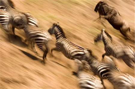 Zebras (Equus quagga) and wildebeest (Connochaetes taurinus) fleeing from river banks, Masai Mara, Kenya Stock Photo - Premium Royalty-Free, Code: 682-02891455