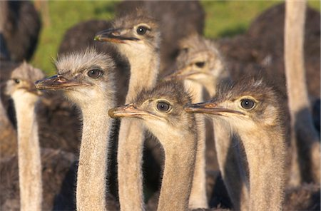 Close -Up of inquisitive Common Ostriches (Struthio camelus), Overberg Region, Western Cape Province, South Africa Stock Photo - Premium Royalty-Free, Code: 682-03285800