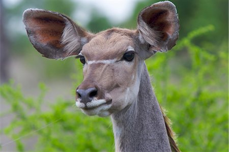 Portrait of a Kudu (Tragelaphus strepsiceros), Kruger National Park, Mpumalanga Province, South Africa Stock Photo - Premium Royalty-Free, Code: 682-03404932