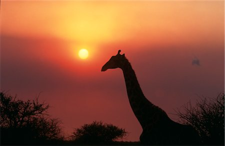 Silhouette of Giraffe (Giraffa Camelopardalis) against sunset, KwaZulu-Natal Province, South Africa Stock Photo - Premium Royalty-Free, Code: 682-03553363
