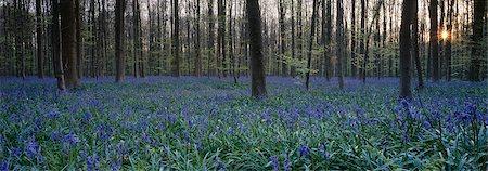 Wild wood bluebells (Hyacinthoides non-scripta) at sunset, Hallerwoods, Halle, Flemish Brabant, Belgium Stock Photo - Premium Royalty-Free, Code: 682-03643784