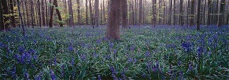 Wild wood bluebells (Hyacinthoides non-scripta), Hallerwoods, Halle, Flemish Brabant, Belgium Stock Photo - Premium Royalty-Free, Code: 682-03643783