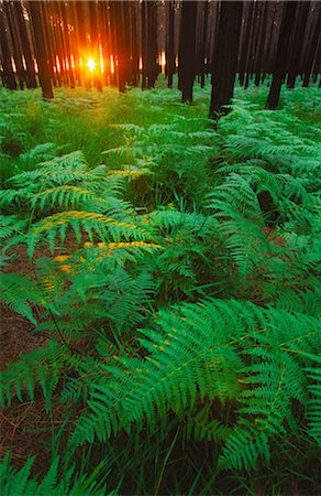 Fern leaves covering the ground, Tsitsikamma, South Africa Stock Photo - Premium Royalty-Free, Code: 682-03643800