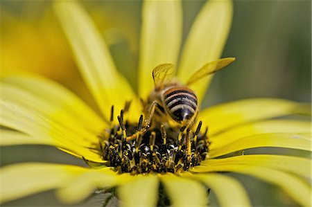 Bee collecting nectar in field of daisies, near Nieuwoudtville, Northern Cape Province, South Africa Stock Photo - Premium Royalty-Free, Code: 682-03734814