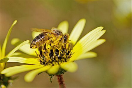 Bee collecting nectar in field of daisies, near Nieuwoudtville, Northern Cape Province, South Africa Stock Photo - Premium Royalty-Free, Code: 682-03734833