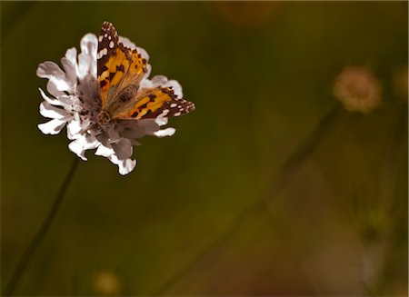 filigree - Painted Lady butterfly, Table Mountain, Cape Town, Western Cape Province, South Africa Stock Photo - Premium Royalty-Free, Code: 682-03734938