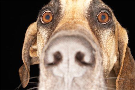 Brazilian mastiff (Fila Brasileiro), close-up Stock Photo - Premium Royalty-Free, Code: 694-03693948