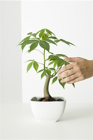 silk floss tree - Hand touching potted silk floss tree Stock Photo - Premium Royalty-Free, Code: 695-05768933
