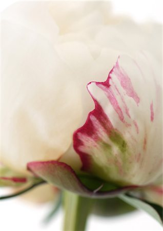 peony backgrounds - Peony Stock Photo - Premium Royalty-Free, Code: 695-05778424
