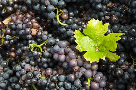 Grape leaf on heap of grapes Stock Photo - Premium Royalty-Free, Code: 695-05779715