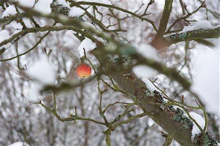 single fruits tree - Single apple on snow-covered tree Stock Photo - Premium Royalty-Free, Code: 695-05771883