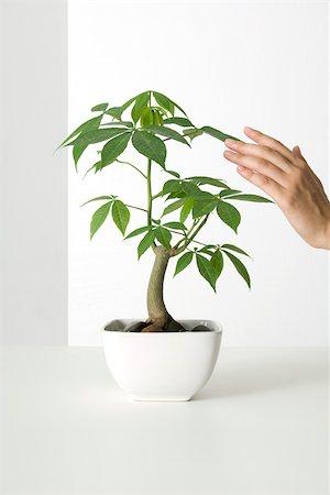 silk floss tree - Hand touching potted silk floss tree Stock Photo - Premium Royalty-Free, Code: 695-03380022