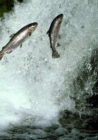 Salmon jumping in white water Stock Photo - Premium Royalty-Free, Code: 695-03380813