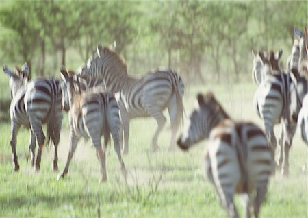 Africa, Tanzania, herd of Plains Zebras (Equus quagga) galloping Stock Photo - Premium Royalty-Free, Code: 695-03381414